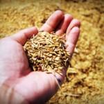 semences agricoles dans une main